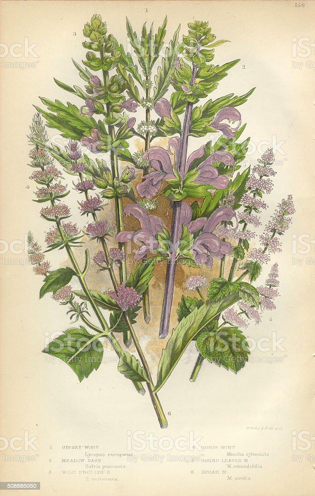 Salvia Salvia Menta Menta Verde Gypsywort Victoriana Botánico ...