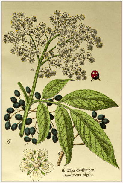 Sambucus nigra - Cropped from Victorian style botanical lithographs book. Munich 1880-1889,  Germany. Cropped from Victorian style botanical lithographs book. Munich 1880-1889,  Germany. 1880 1889 stock illustrations