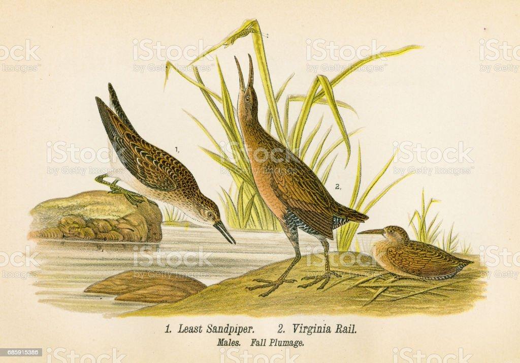 Sandpiper and rail bird lithograph 1890 vector art illustration