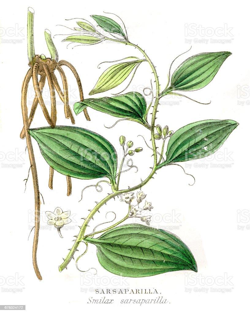 Sarsaparrilla botanical engraving 1857 vector art illustration