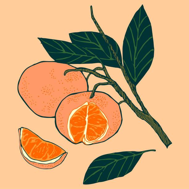 Satsuma Citrus vector art illustration