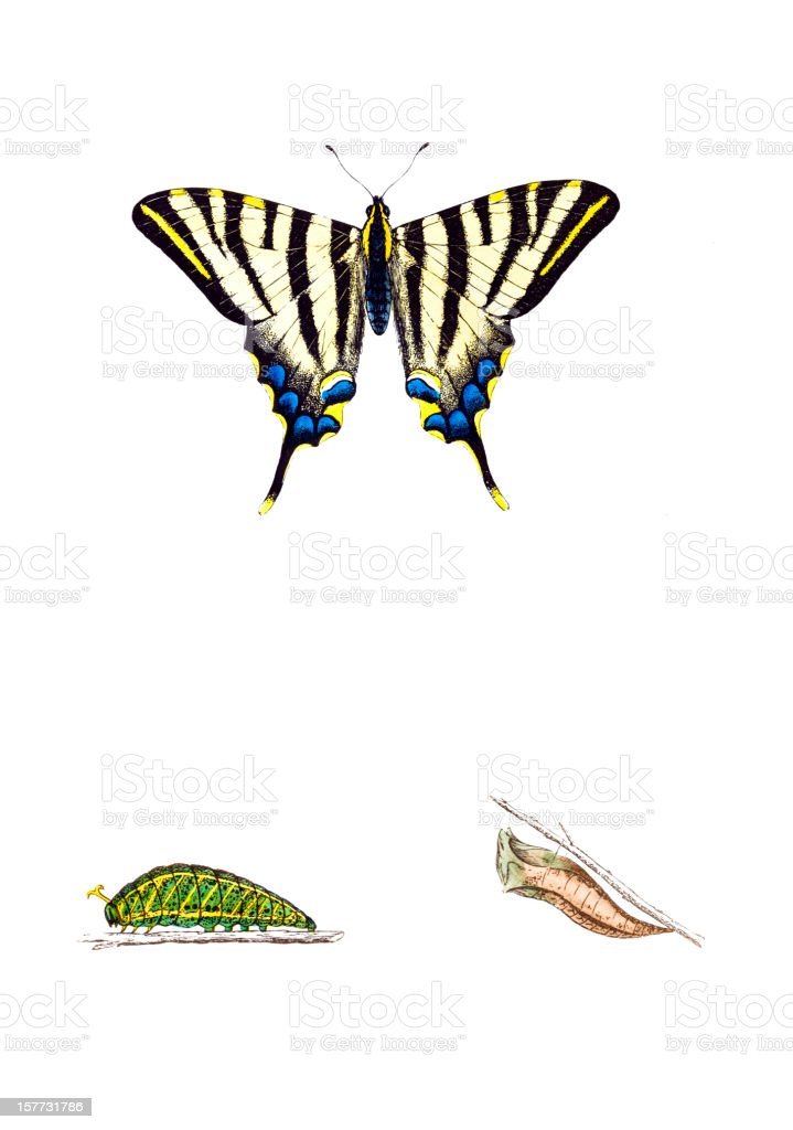 Scarce Swallowtail - Hand Coloured Engraving royalty-free stock vector art