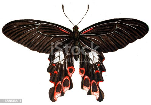 Illustration of a Scarlet Mormon, swallowtail butterfly (Papilio rumanzovia)