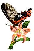 Illustration of a Scarlet Mormon, swallowtail butterfly (Papilio rumanzovia)