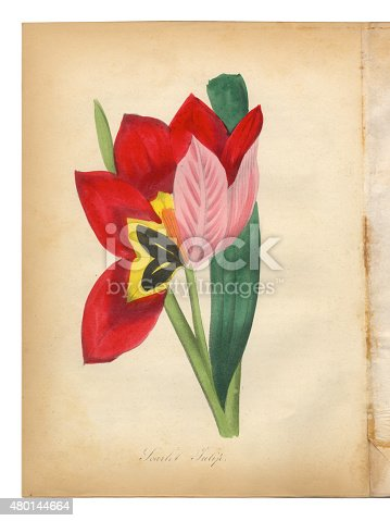 Extremely Rare, Beautifully Illustrated Antique Victorian Engraved Botanical Illustration of the Hand Colored Scarlet Tulip from The American Flora, History of Plants and Wild Flowers: Their Scientific and General Descriptions, Natural History, Chemical and Medical Properties, Mode of Culture and Propagation. A Book of Reference for Botanists, Physicians, Florists, Gardeners and Students. Published in 1853. Copyright has expired on this artwork. Digitally restored.