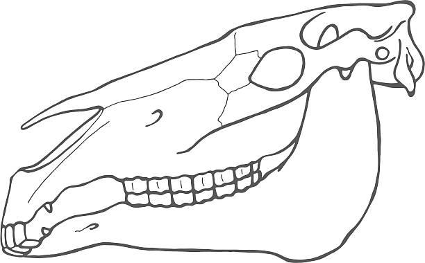 schädel pferd - animal skull stock illustrations