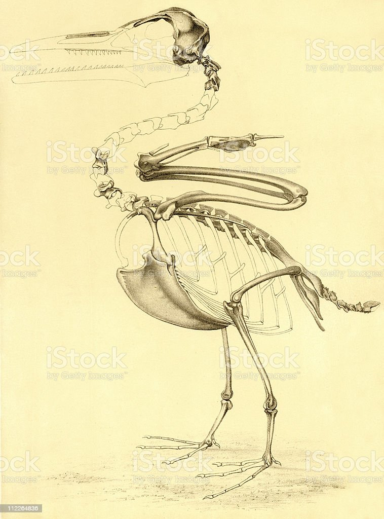 Scientific Drawing of Toothed Bird Fossil, circa 1880s royalty-free scientific drawing of toothed bird fossil circa 1880s stock vector art & more images of 19th century style