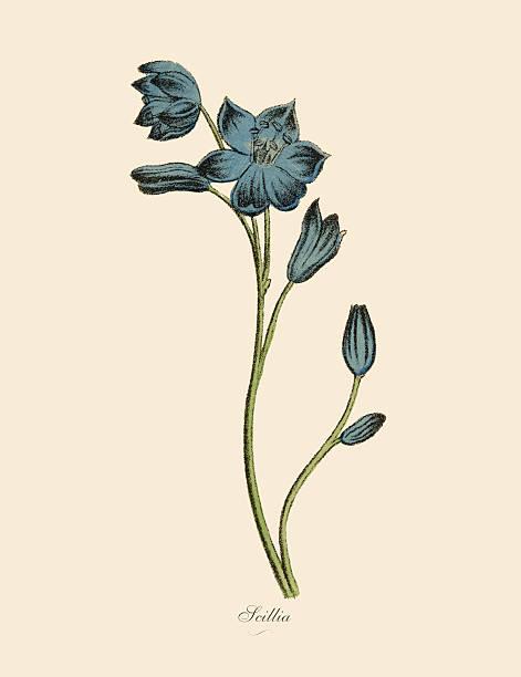 illustrazioni stock, clip art, cartoni animati e icone di tendenza di scillia piante, vittoriano, illustrazioni botanico - calabria