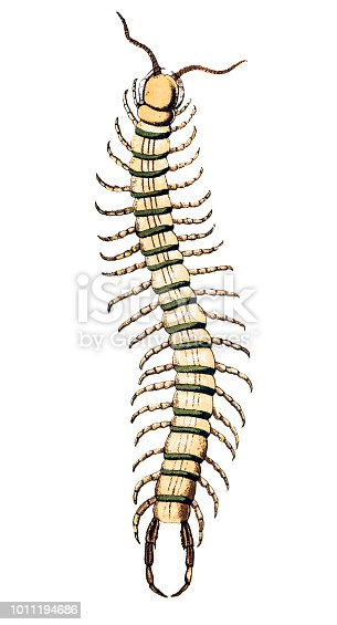 Illustration of a Scolopendra cingulata, also known as Megarian banded centipede, and the Mediterranean banded centipede