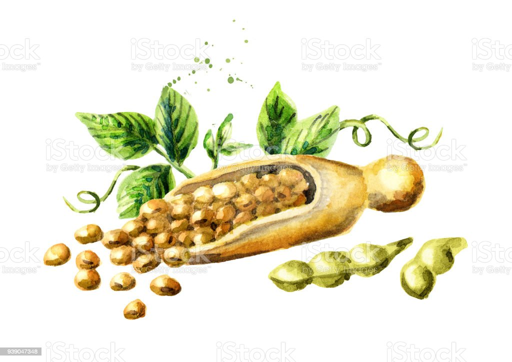 Scoop with soybeans. Watercolor hand drawn illustration vector art illustration