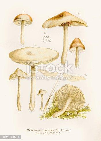 Scotch bonnet fairy ring mushroom illustration 1892