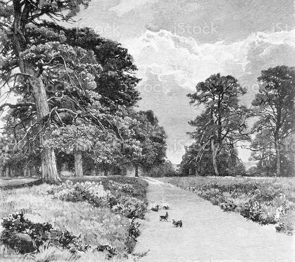 Scotch Firs in Bramshill Park, Hampshire, UK vector art illustration
