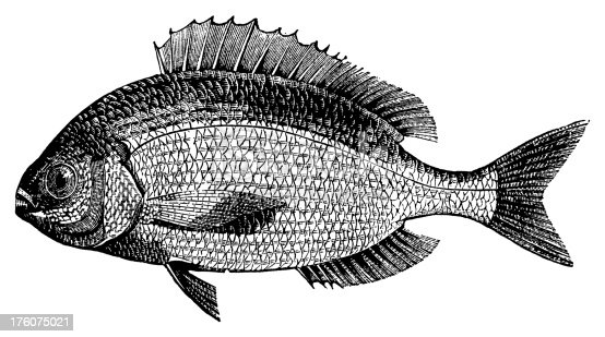 19th-century engraving of a sea bream (isolated on white).CLICK ON THE LINKS BELOW FOR HUNDREDS MORE SIMILAR IMAGES: