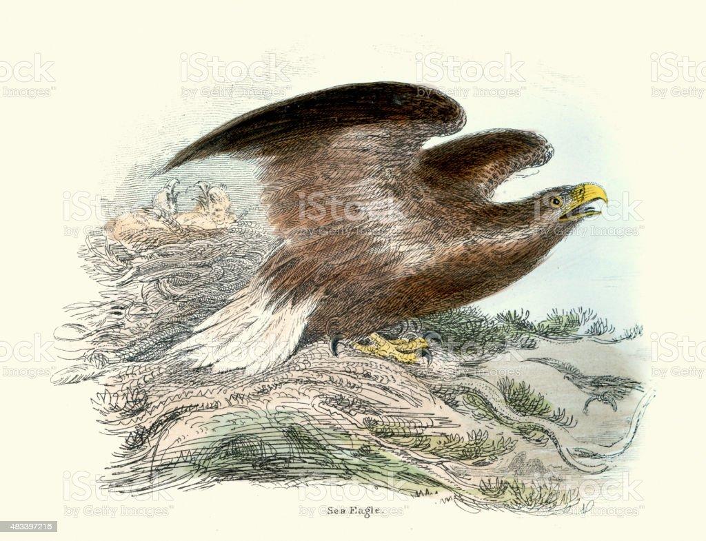 Sea eagle vector art illustration