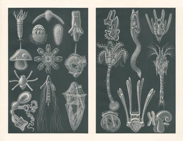 stockillustraties, clipart, cartoons en iconen met zee larven, raster prenten, gepubliceerd in 1900 - larve