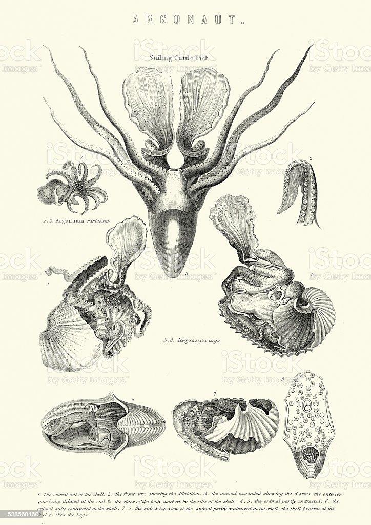 Sea Life - Argonaut - Cuttle Fish vector art illustration