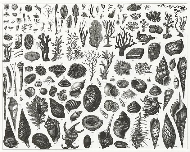 Sea Plants, Shells and Mussels Engraving vector art illustration