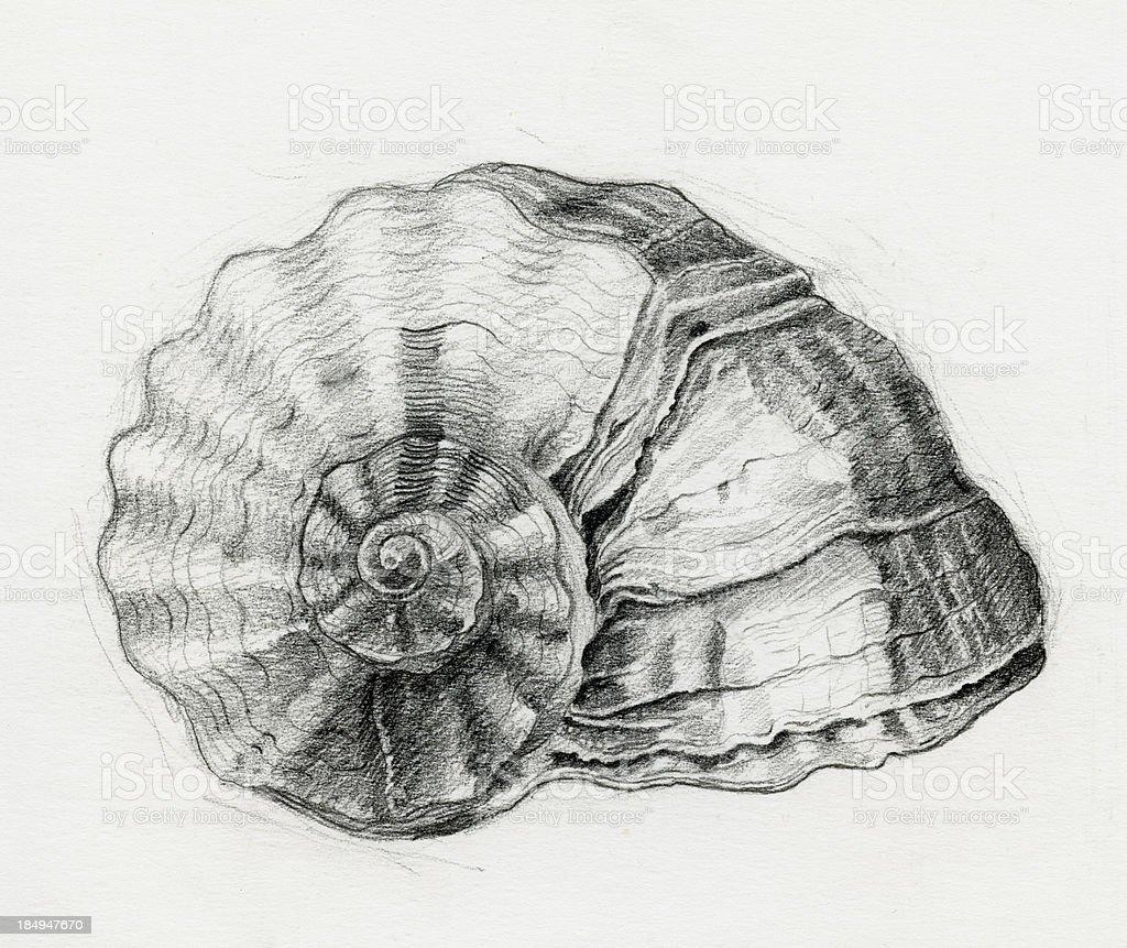 Sea Shell Sketch royalty-free stock vector art
