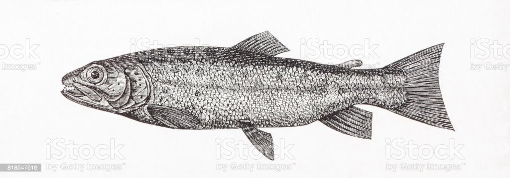 Sea trout Salmo trutta or Fario argenteus antique engraving vector art illustration