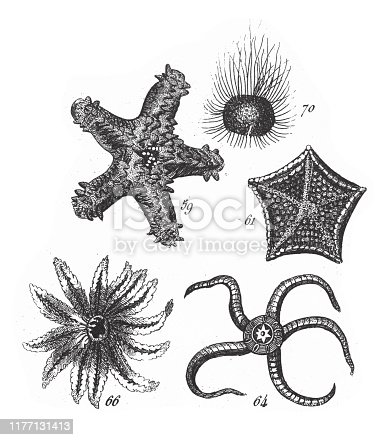 Sea Urchin, Starfish, Representatives of the Phyla Mollusca, Echindermata, Ctenophora and Arthropoda Engraving Antique Illustration, Published 1851. Source: Original edition from my own archives. Copyright has expired on this artwork. Digitally restored.