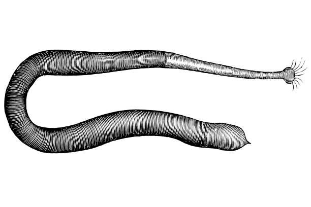 Sea worm ,Phascolosoma obscurum Illustration of a Sea worm ,Phascolosoma obscurum bristle worm stock illustrations