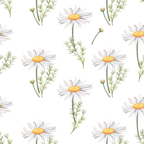 Seamless pattern with camomile flowers and leaves Seamless pattern with camomile flowers and leaves, watercolour raster illustration on white background. Seamless watercolor pattern with daisy, camomile flowers, leaves and buds on white background chamomile plant stock illustrations