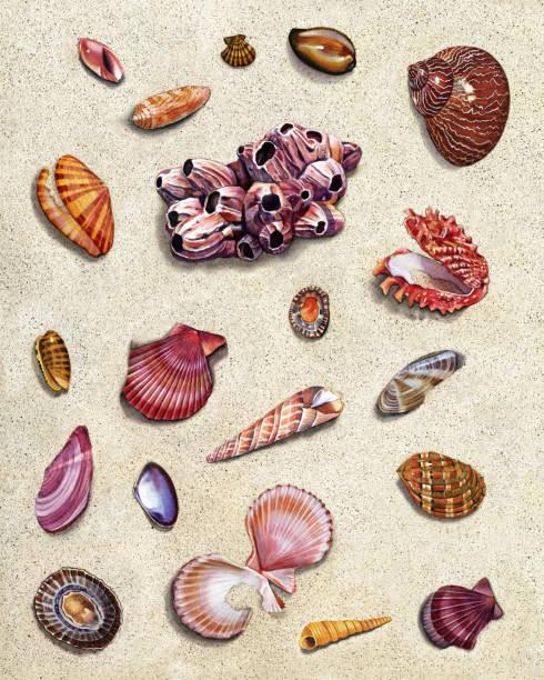 ilustrações de stock, clip art, desenhos animados e ícones de seashell group - lapa