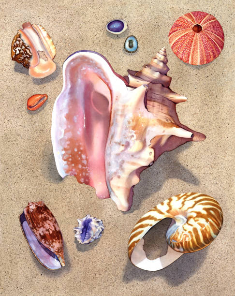 ilustrações de stock, clip art, desenhos animados e ícones de seashell - pink conch - lapa