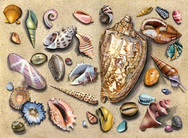 ilustrações de stock, clip art, desenhos animados e ícones de seashell - queen conch medley - lapa