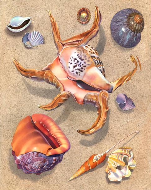ilustrações de stock, clip art, desenhos animados e ícones de seashell - spider conch - lapa
