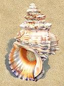 istock Seashell - White Shell Large 1297973950