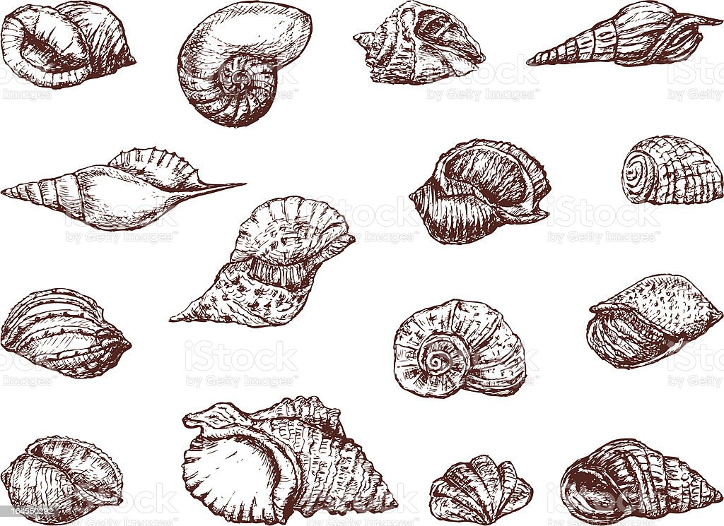 Seashells royalty-free stock vector art