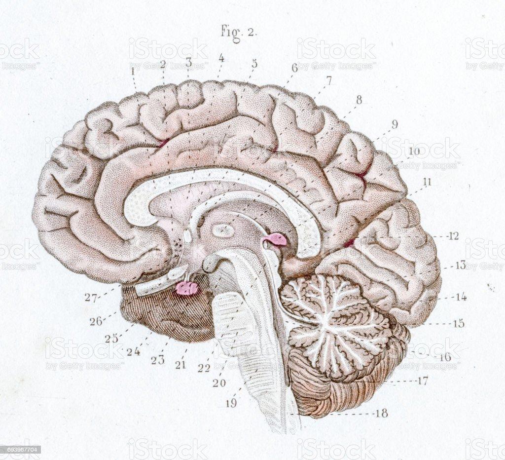 Ilustración de Sección De La Anatomía Del Cerebro Grabado De 1886 y ...