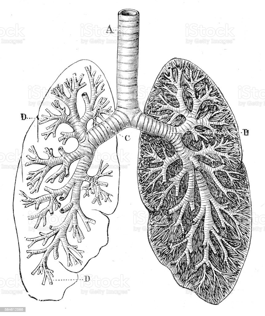 Section of the Lungs Anatomy Drawings 1888 vector art illustration