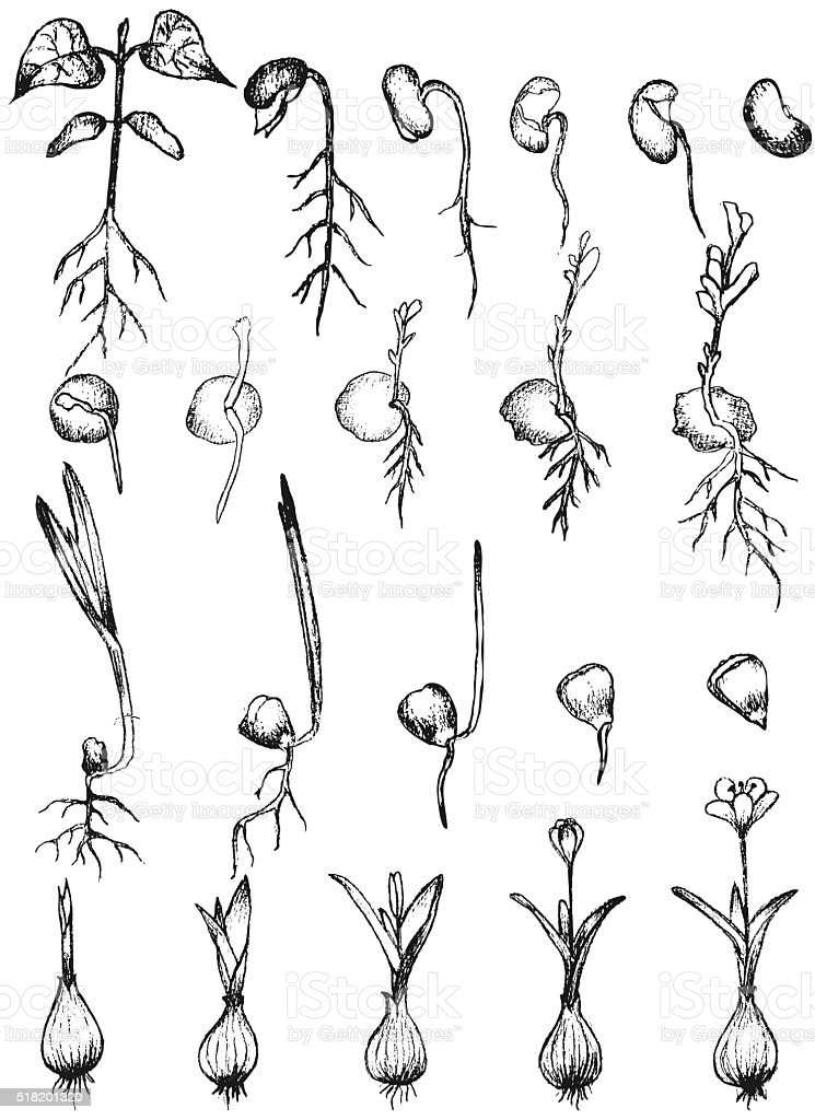 Seed germination isolated on white vector art illustration