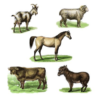 19th century colored illustrations of: goat, sheep, horse, taurus and donkey. Published in Systematischer Bilder-Atlas zum Conversations-Lexikon, Ikonographische Encyklopaedie der Wissenschaften und Kuenste (Brockhaus, Leipzig, 1875)