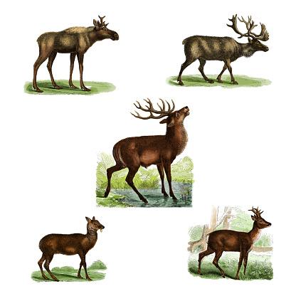 19th century colored illustrations of: elk, reindeer, deer, musk deer, roe deer. Published in Systematischer Bilder-Atlas zum Conversations-Lexikon, Ikonographische Encyklopaedie der Wissenschaften und Kuenste (Brockhaus, Leipzig, 1875)