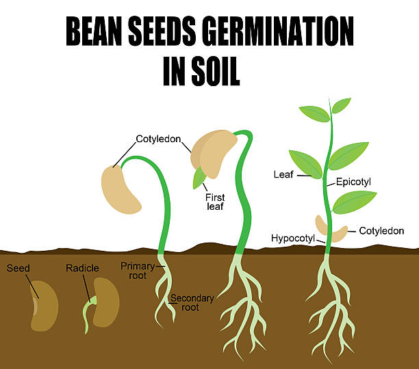 germination and beans