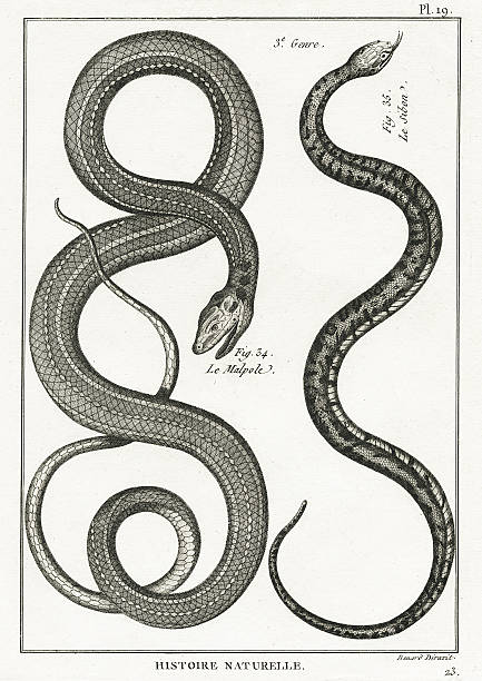 serpent, plate 19 - snake stock illustrations, clip art, cartoons, & icons
