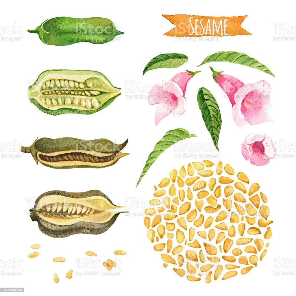 Sesame, watercolor set vector art illustration