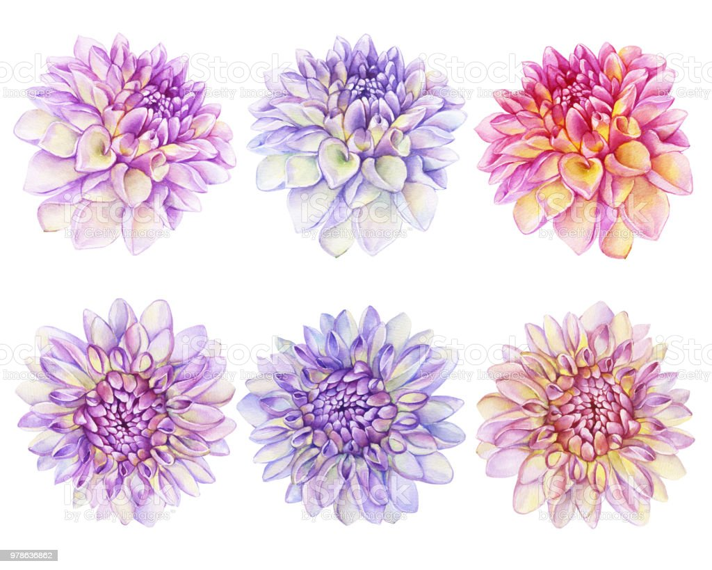 Set Beautiful Purple Pink Dahlia Flower Garden Closeup Dahlia For