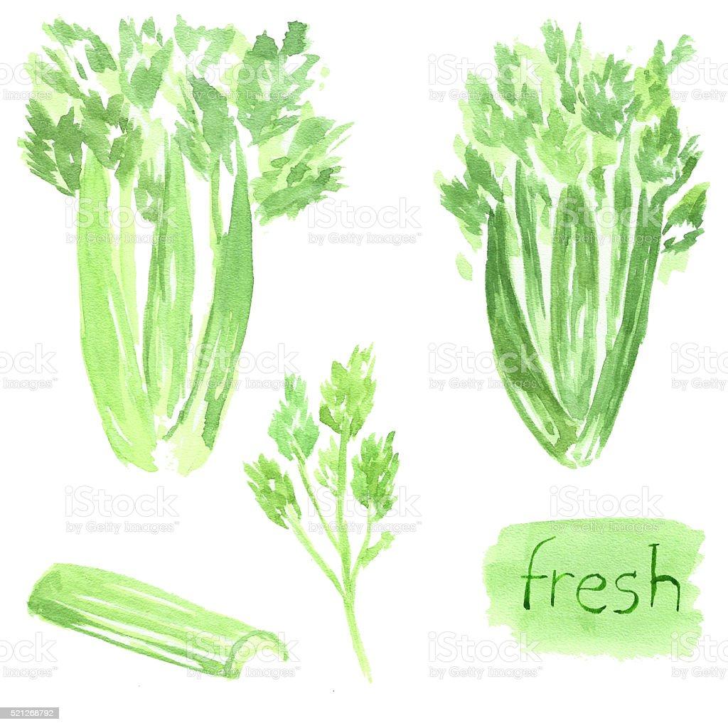 Set celery. Watercolor food. Vegetable vector art illustration