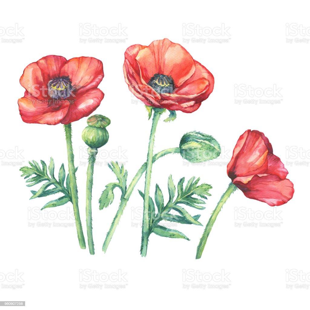 Blühende Rote Mohnblumen Blumen Festgelegt Aquarell Handgezeichnete
