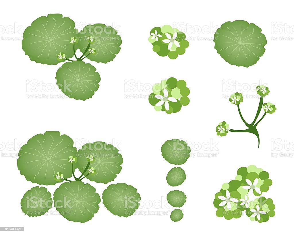 Set of Asiatic Pennywort on White Background vector art illustration