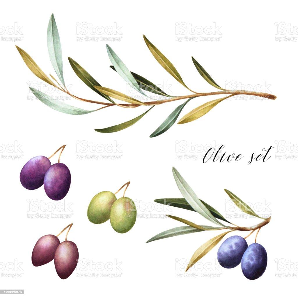 Set of black, green and kalamata olives. vector art illustration