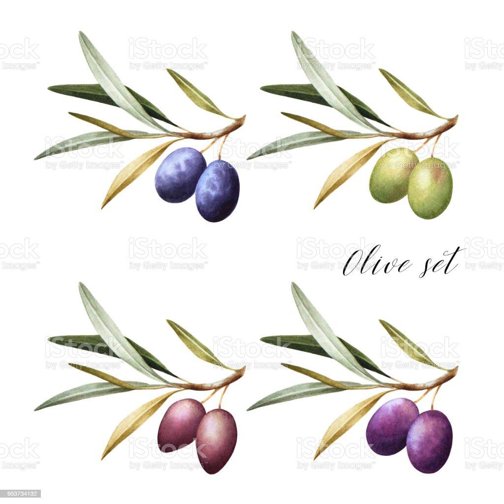 Set of black, green and kalamata olives on branch. vector art illustration