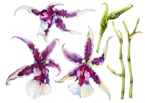 """set of blossoming tropical pink flower orchid aliceara (beallara) peggy ruth carpenter """"morning joy"""". hand drawn watercolor painting illustration isolated on a white background. - ruth stock illustrations"""