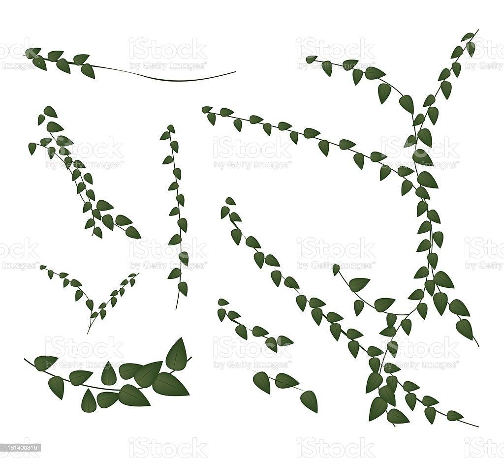 Ensemble De Plante Grimpante Sur Un Arrièreplan Blanc