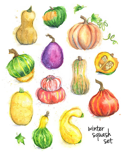 Set of Different Types of Squash Painted in Watercolor Watercolor and ink painting of various types of squash and pumpkin. Each vegetable is isolated on a white background. Set includes butternut, acorn, buttercup, turban, spaghetti, delicate, amber cup, gooseneck squash, pumpkin and various gourds. Raster illustration. squash vegetable stock illustrations