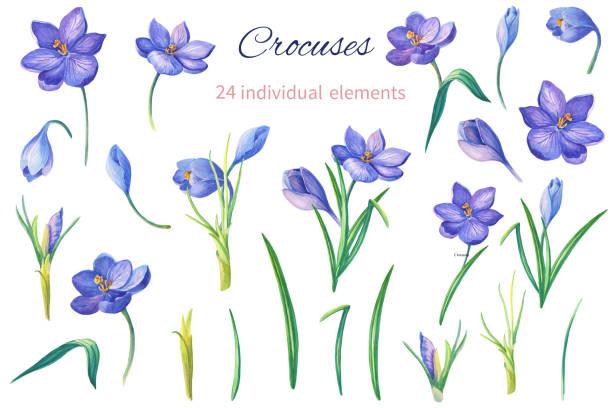 illustrations, cliparts, dessins animés et icônes de ensemble d'éléments. illustration aquarelle avec violet crocus ou safran sur un fond blanc. bouquet de printemps - crocus